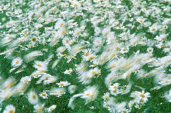 Wind blowing daisies, photograph by Brent VanFossen
