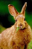 Photograph of a snowshoe hare munching yarrow. 