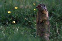 Arctic ground squirrel, Alaska, photo by Brent VanFossen