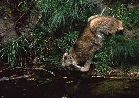 A cougar, rarely seen in the wild, drinks from a pond in it natural looking enclosure. Photo by Lorelle VanFossen
