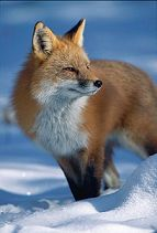 Red fox in snow, Colorado, photo by Brent VanFossen