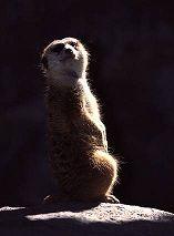 Meerkat, photo by Lorelle VanFossen