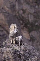 Mountain goats in the mountains, photograph by Brent VanFossen