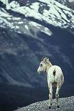 Mountain goat, Colorado Rockies, photo by Brent VanFossen