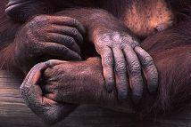 Orangatan hands, photo by Brent VanFossen