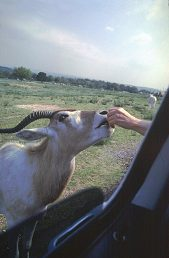 Feeding a Ram in a Safari, photo by Lorelle VanFossen