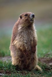 Marmot standing, Olympic National Park, photo by Brent VanFossen