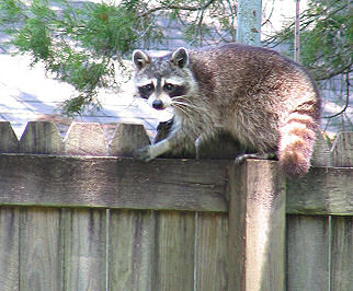 Raccoon on the fence behind our trailer in Mobile, Alabama, photograph by Lorelle VanFossen