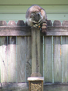 Raccoon scrambles down the fence for more nuts, photograph by Lorelle VanFossen