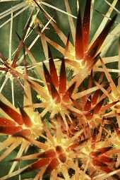 Cactus spikes form an explosion pattern, photograph by Lorelle VanFossen