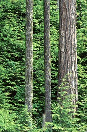 Vertical lines in tree trunks, photograph by Brent VanFossen
