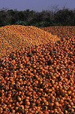 Orange Persimmons, Israel, photograph by Brent VanFossen