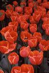 Red Tulips, Skagit Valley, Photo by Brent VanFossen