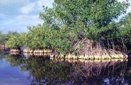Mangroves of Ding Darling, Photo by Brent VanFossen