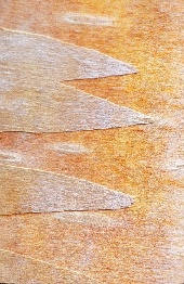 Closeup of tree bark, photograph by Brent VanFossen
