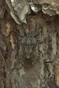 beetlecamoa