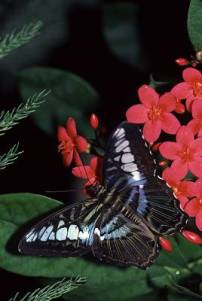 butterfly3a