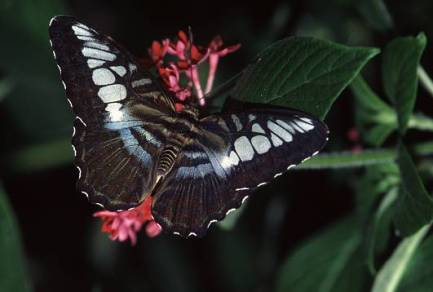butterfly5a