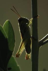 grasshoppera1