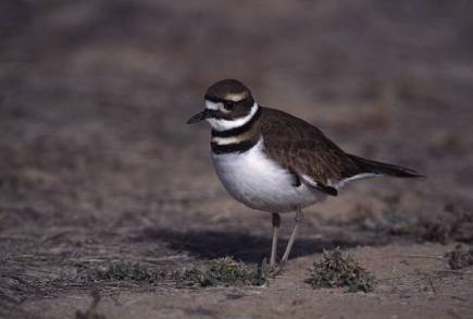 killdeer1a
