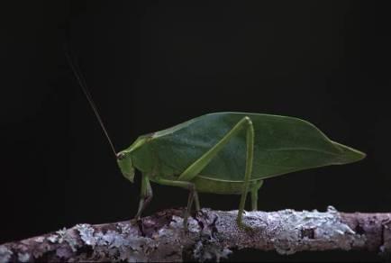 leafbug1a