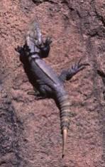 lizardisra1a