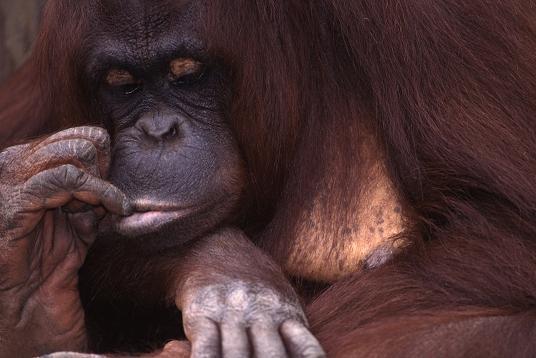 Orangutan chews on finger. Copyright Lorelle VanFossen.