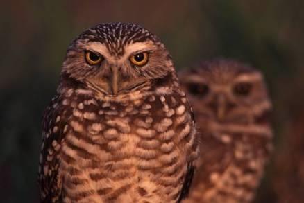 owlburrowpair3a
