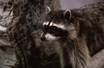 raccoona