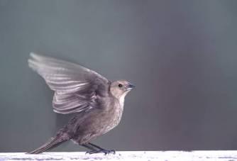 sparrowwingeda