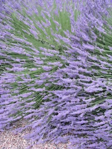 lavender festival 2009 (18)
