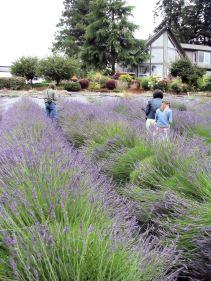 lavender festival 2009 (21)