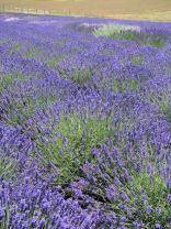 lavender festival 2010 (35)