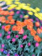tulip blur circles 19 lorelle vanfossen
