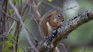 Red squirrel -- 2018 Carden Challenge