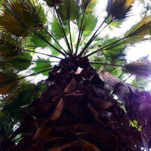 Palm Tree Looking Up San Antonio July 2016