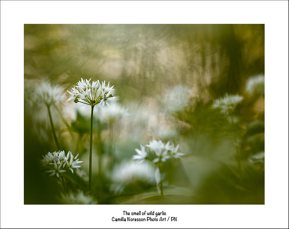 The smell of wild garlic