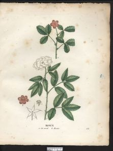 gravures_fleurs_et_fruits_-_6106_ronce_du_nord_-_rosier