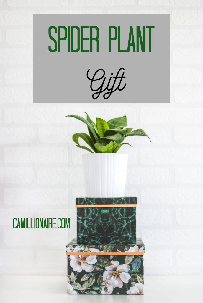 Spider Plant Gift