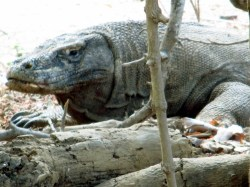 Komodo (15)