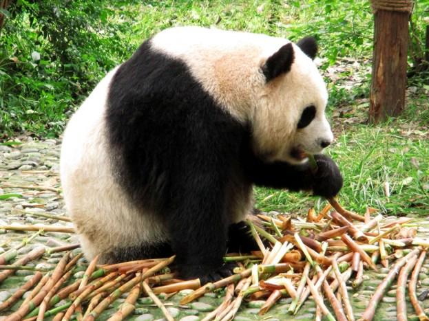 Panda (35)