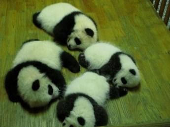 Panda (47)
