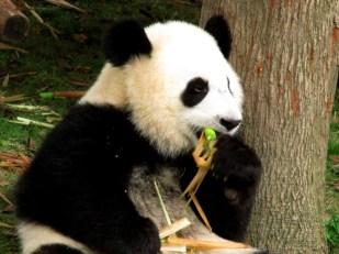 Panda (55)