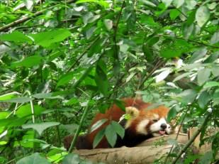 Panda (77)