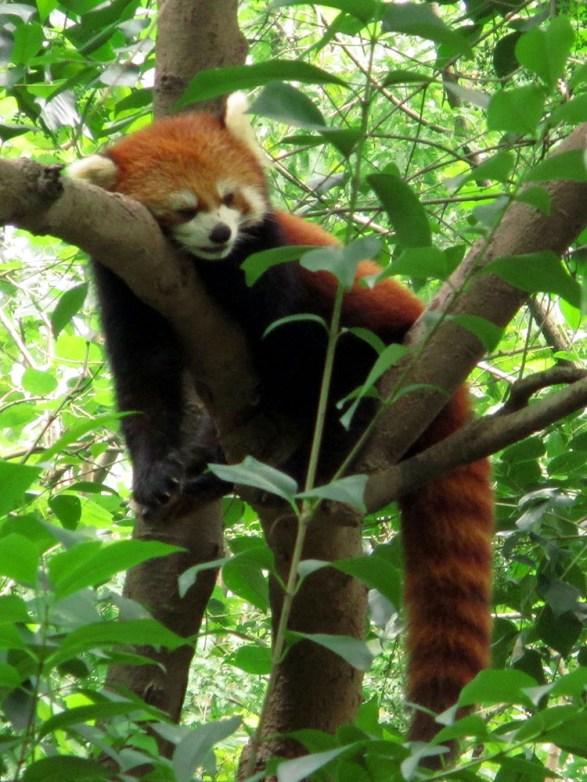 Panda (84)