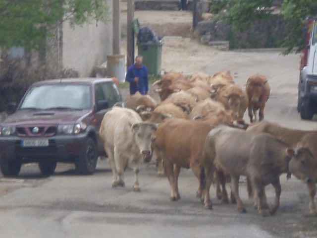 道に牛とうせんぼ