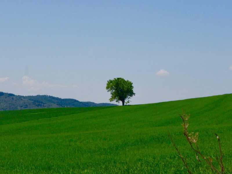 425麦畑の一本木