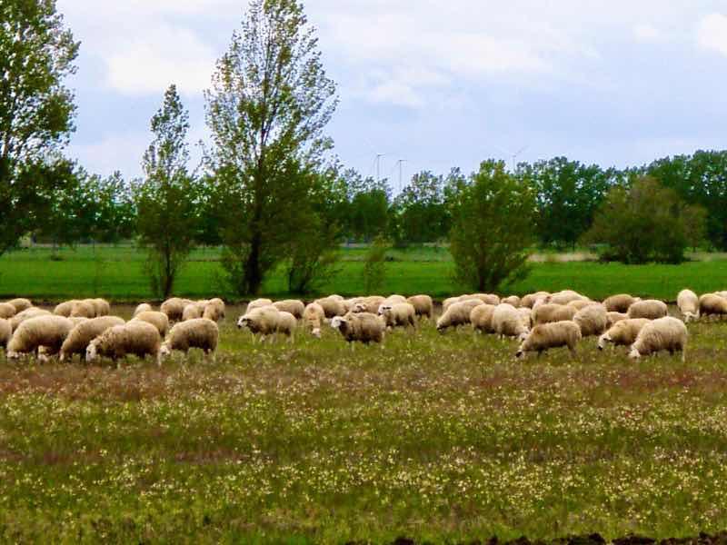 512 カルサディージャ・デ・ラ・クエッサ カミーノ 17km一本道 羊の群