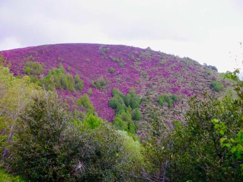 527 カミーノ オスピタルデコンデサ 山のピンク花