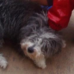 608サンティアゴ巡礼 道犬モップ カミーノ アス・マロナス